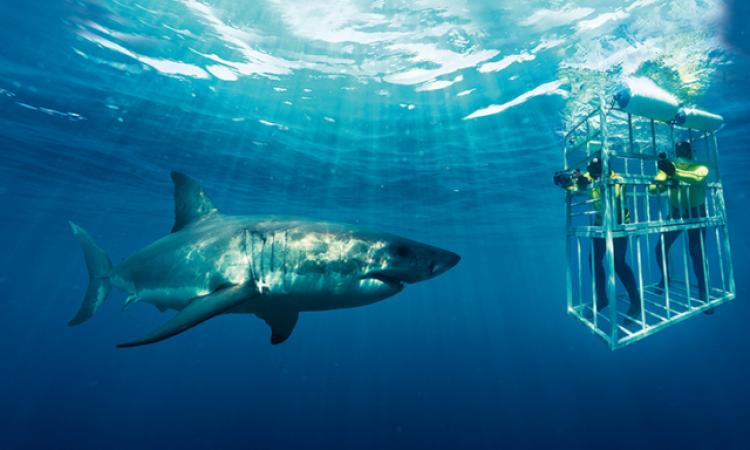 Uji Adrenalin Berenang Bersama Hiu di Afrika Selatan